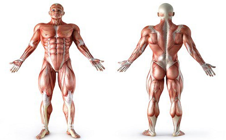 Мышцы груди строение анатомия и основные функции мышечной группы