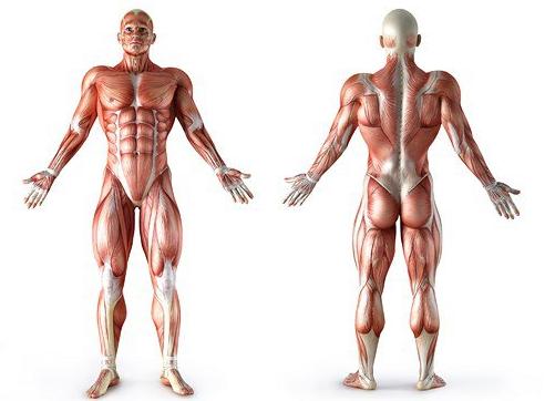 anatomiya mishc
