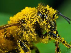 Пчелиная обножка