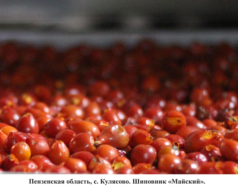 шиповник-3
