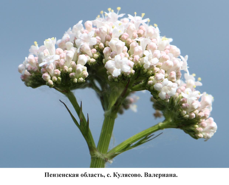 валериана-3