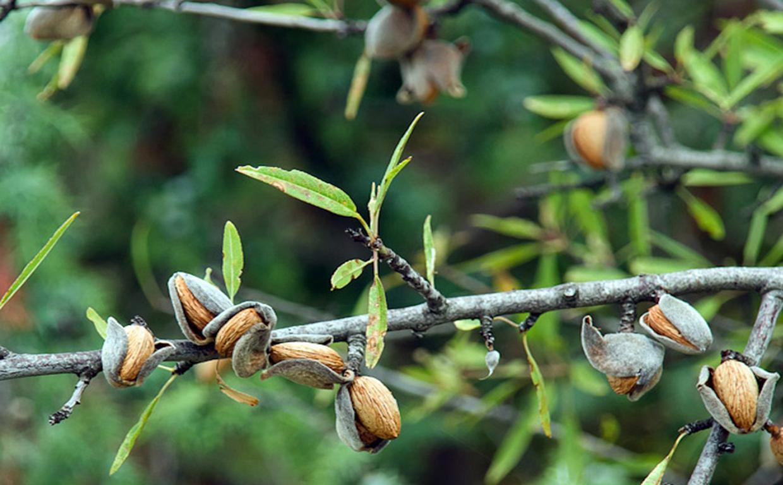 Миндальный орех: польза и вред для организма человека