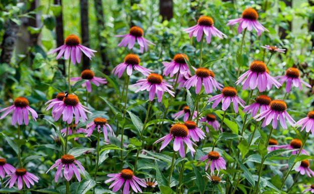 свойства эхинацеи пурпурной