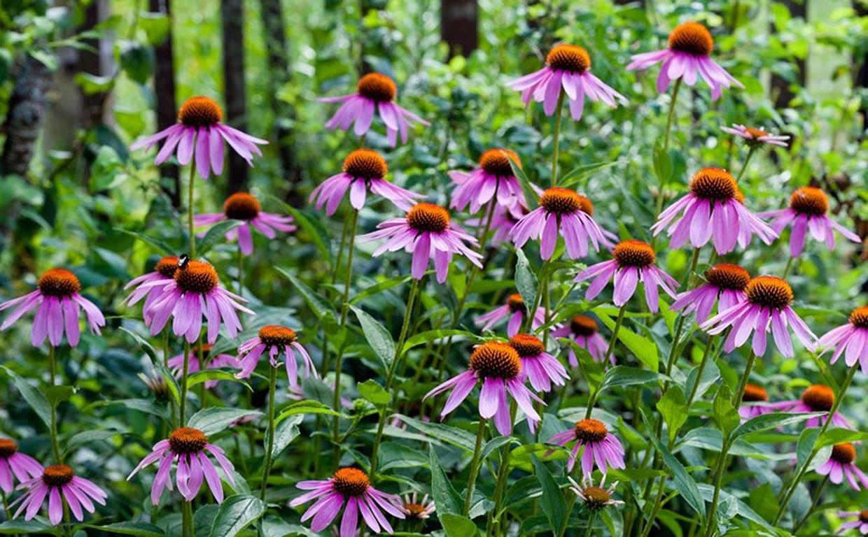 Свойства эхинацеи пурпурной при заболеваниях дыхательной системы
