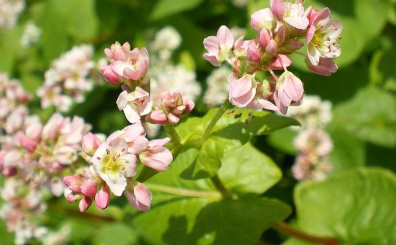 Лекарственная трава гречиха красностебельная для сосудов и сердца