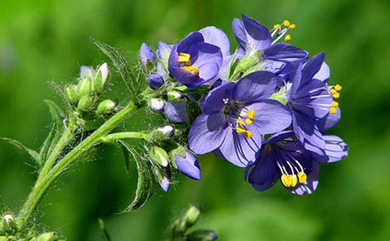 Корень синюхи голубой для лечения заболеваний дыхательной системы