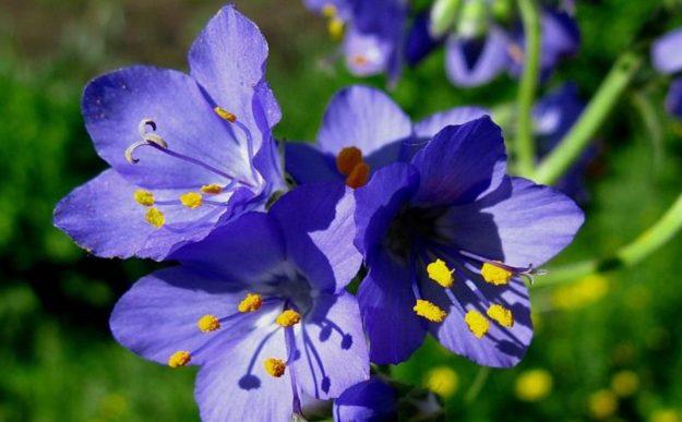 Трава синюха голубая