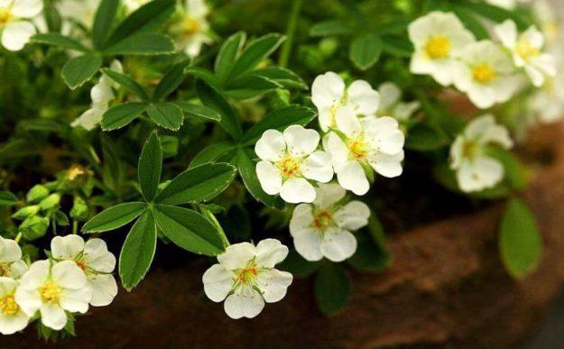 уникальные свойства растения лапчатка белая