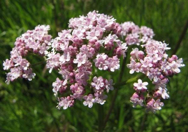 растение валериана лекарственная