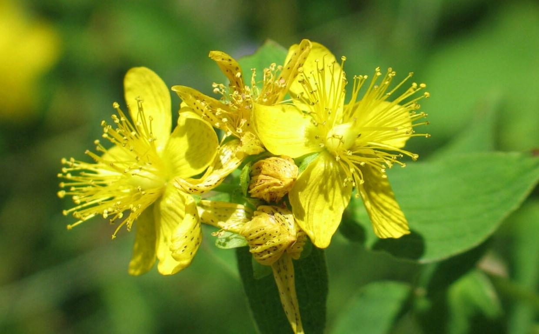 Лекарственное растение зверобой для оздоровления сердца и сосудов